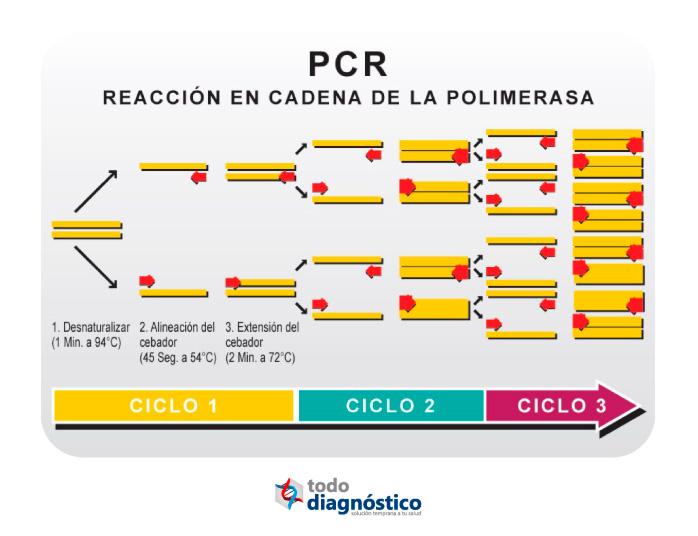 Diagnóstico molecular: ciclos de la PCR