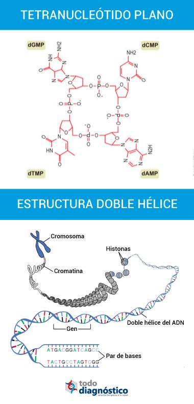 Tetranucleótido plano y doble hélice del ADN